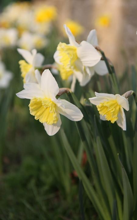 Daffodils blooming in Alderton near Towcester